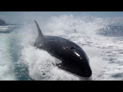 three orcas chase fishing boat at sea why did killer whales chase a tourism boat nature s