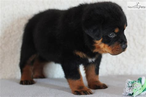 free puppies in missouri rottweiler puppy for sale near southeast missouri missouri 5b34cfe1 5bf1