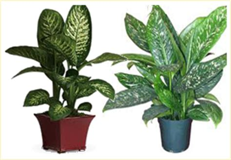 indoor plant images with names indian nursery codiaeum or croton exporter seller and supplier in hooghly india