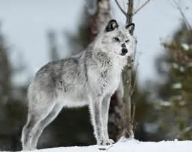 Viewing gallery for silver wolf with blue eyes