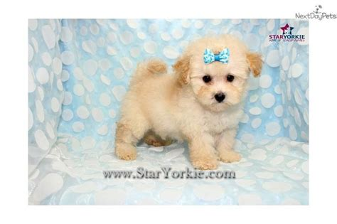 maltipoo puppies for sale los angeles 123 best images about maltipoo puppies for sale on puppys teacup