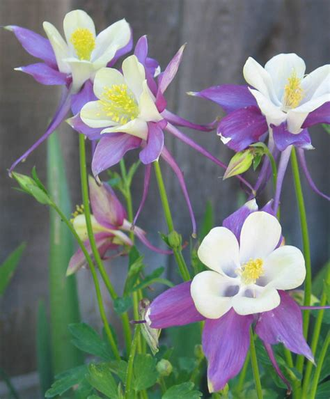 60 incredible columbine flowers stock golfian com