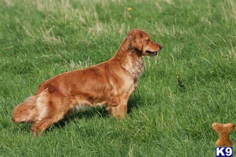 golden retriever puppies suffolk golden retriever puppies for sale uk www proteckmachinery