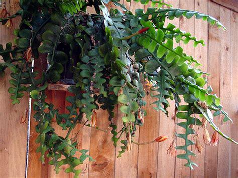 plants flowers fishbone cactus