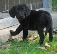 labbe puppies 25 best pet therapy images on animals puppies