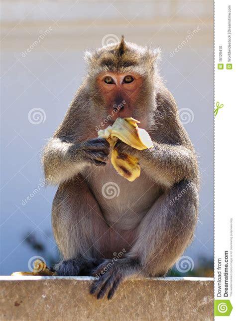 alimentazione scimmie scimmia mangia banana fotografia stock immagine di