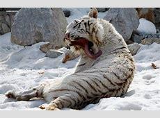 Le tigre blanc - Ecole du Lac, Plabennec L Equipe