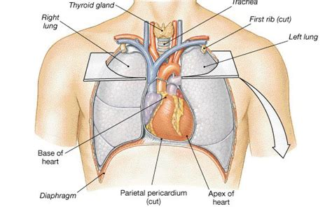 where are your lungs located in your diagram where is your located chest pains related with your