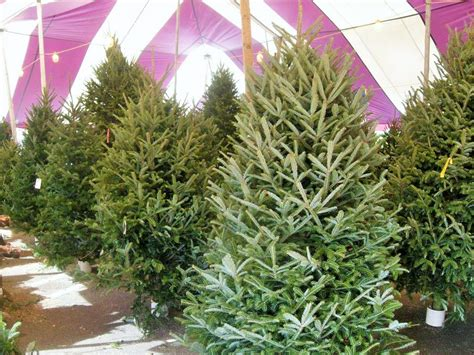buying and caring for a live christmas tree hart t trees