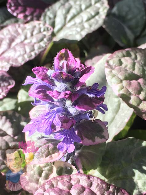 ajuga burgundy glow  pot   plants garden