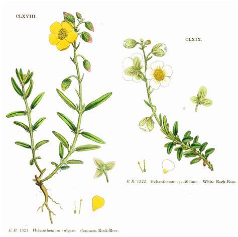 fiori di bach contro la depressione mustard fiori di bach essenziale la depressione