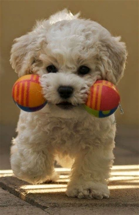 Bichon Shedding by 280 Best Maltese Puppies Images On Maltese