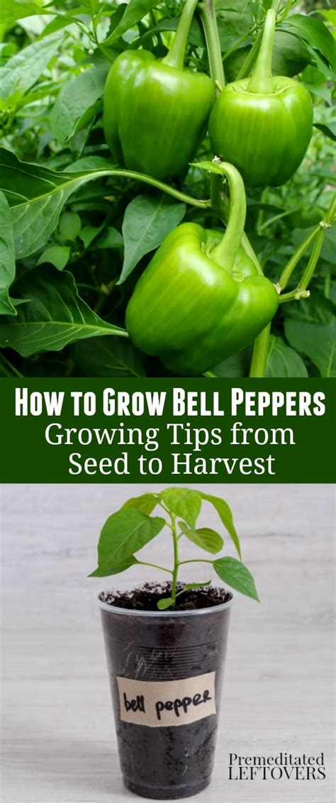 how to bell a how to grow green bell peppers