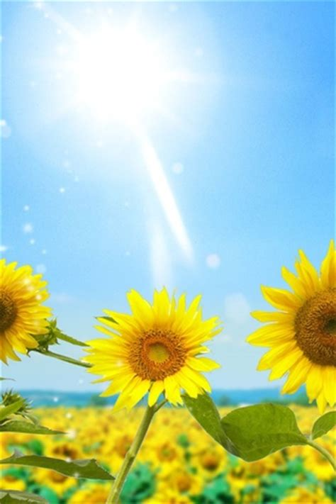 wallpaper for iphone sunflower iphonezone 20 awesome sunflower wallpapers for iphone