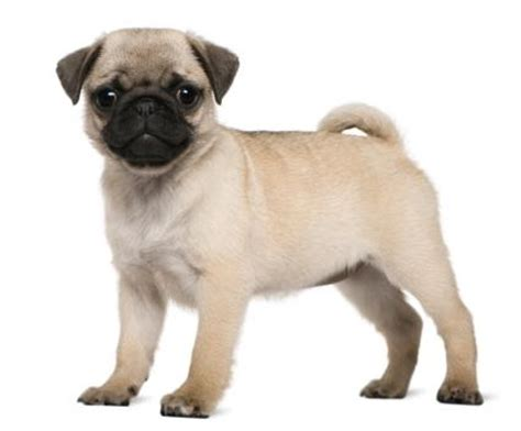 how does pugs live pugs lovetoknow
