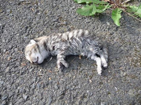 dead of file dead kitten 3 jpg wikimedia commons