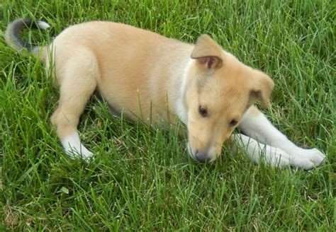 smooth collie puppies smooth collie puppies for sale breeds picture