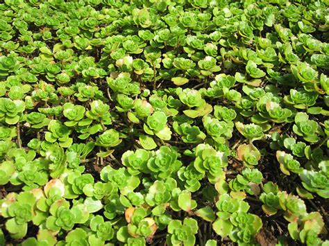 teppich verbene teppich fetthenne pflanze sedum spurium teppich sedum