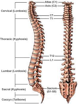 regions of the spine » sonsa