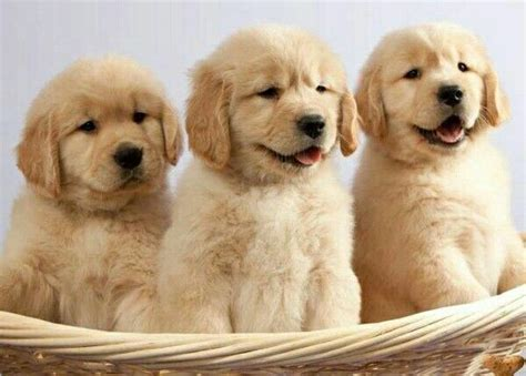 golden retriever puppies for sale in ny 1000 ideas about labradoodle puppies for sale on labradoodle puppies