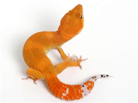 Leopard Gecko Xtreme Tangerine F high end tangerines and masks