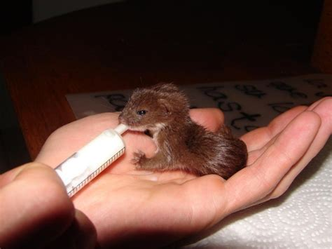 desk weasel for sale baby ferrets