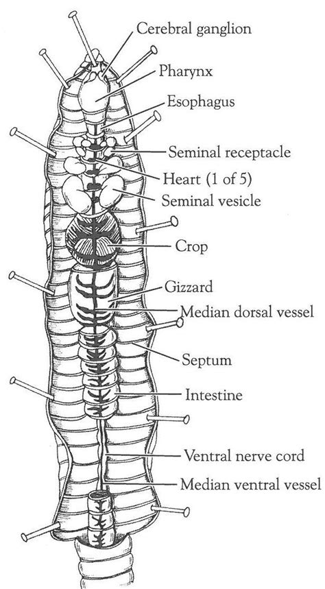 earthworm dissection elementary earthworm activity sheets closed circulatory system dissection of the crayfish and
