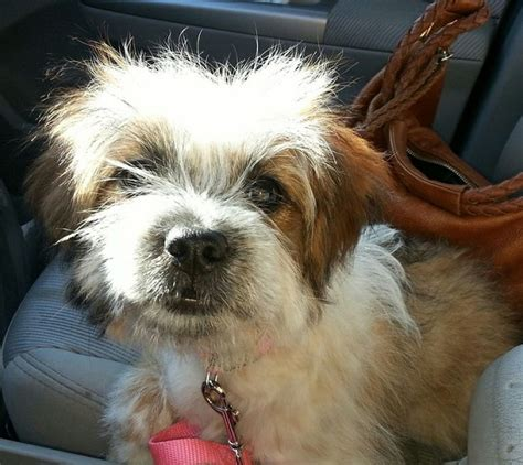 shih tzu mix 35 shih tzu cross breeds you to see to believe