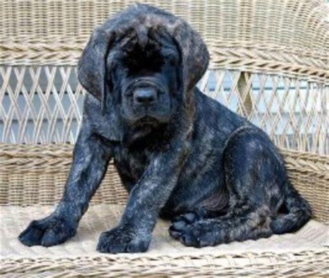 blue mastiff puppies brindle mastiff breeds picture