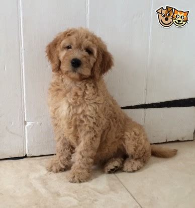 goldendoodle puppies for sale in kent goldendoodle puppies from health tested parents ramsgate
