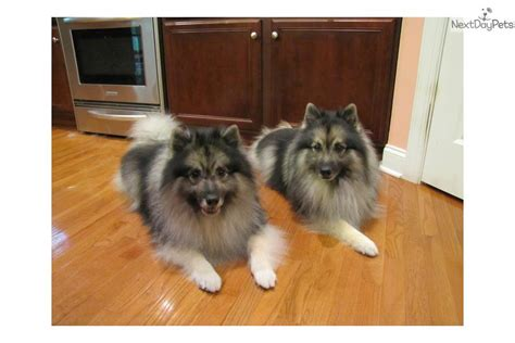 keeshond puppies for sale near me keeshond puppy for sale near eastern nc carolina aed3df06 8a21
