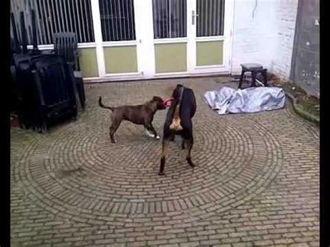 staffordshire bull terrier vs rottweiler vicious rottweiler vs staffordshire bull terrier funnydog tv