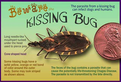 Will Cold Kill Bed Bugs Kissing Bugs And Chagas Disease 25 Facts That Will Save
