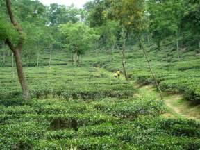 file tea garden in malini chora sylhet bangladesh 3 jpg