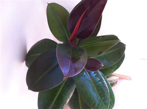 ficus elastica rubber plant guide  house plants