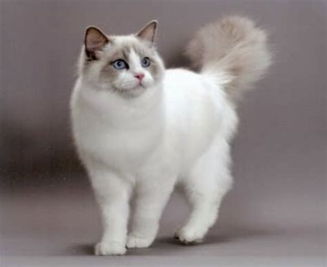 rag doll not on the high with ragdolls ragdoll cat colors patterns explained