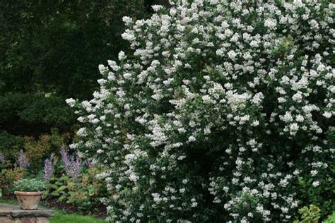 white flowering evergreen shrubs 63 best images about eastern drought heat gardens