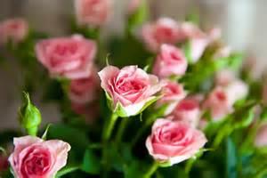 imagenes de rosas unicas flores pro ecuador