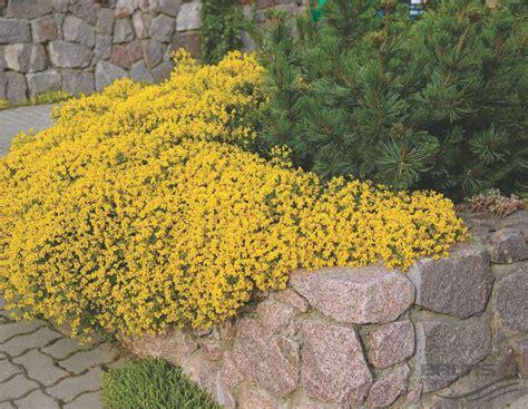 fiori tappezzanti genista lydia o ginestra tappezzante arbusti ornamentali