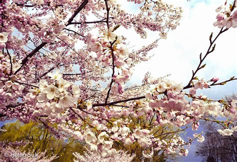 what does a cherry blossom tree symbolize choice image symbol and sign ideas the meaning of cherry blossoms in japan life death and