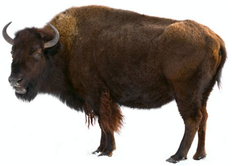 the great american bison need to know pbs