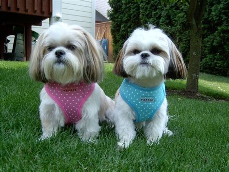 harness for shih tzu 17 best images about p u p p i e s on pet accessories beds and pets