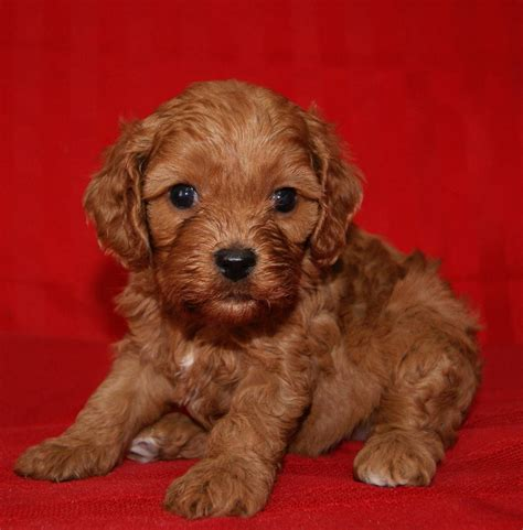 cavapoo puppies cavapoo cavalier king charles spaniel mix info temperament pictures