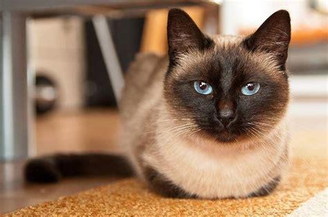 gatto siamese alimentazione gatto siamese pelo corto conosciamo il gatto siamese
