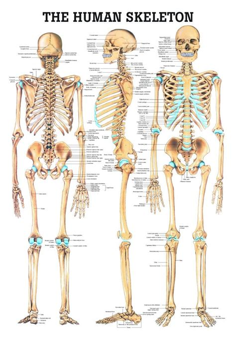 skeleton anatomy anatomy poster human skeleton laminated