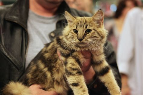 File:Amber Norwegian Forest Cat   Wikimedia Commons