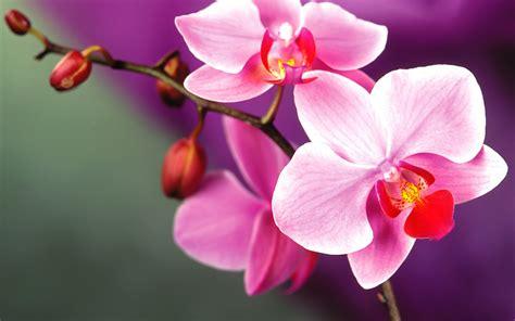 orchid flowers wallpaper 35255212 fanpop