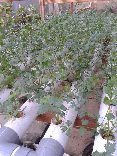 Bibit Sayur Seledri aku sekelilingku dan keseharianku menanam seledri secara