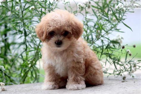pomapoo puppies poma poo pomapoo puppy for sale near lancaster pennsylvania afd49c18 9031