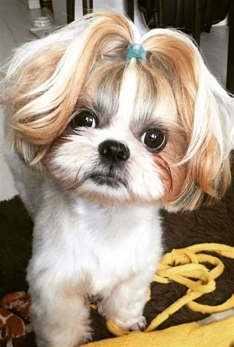 shih tzu maltese mix haircuts 3172 best animals and nature images on pinterest fluffy